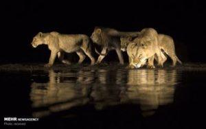 آب خوردن شیرهای وحشی در شب 1
