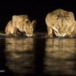 آب خوردن شیرهای وحشی در شب 2
