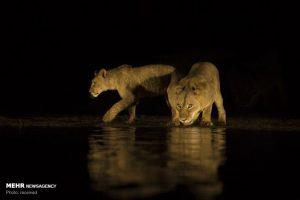 آب خوردن شیرهای وحشی در شب 4