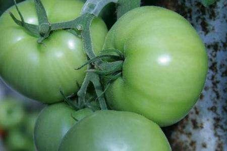 گوجه فرنگی سبز نیکوتین