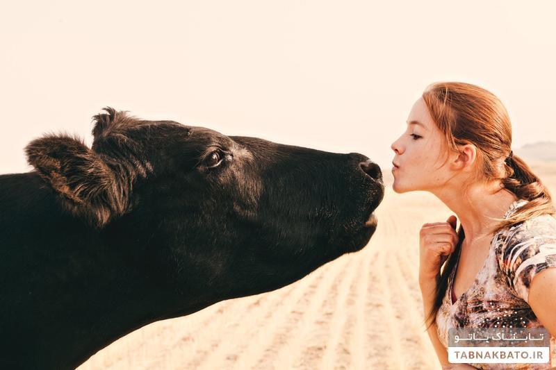 چالش عجیب بوسیدن گاو