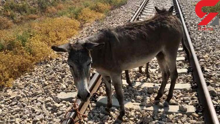 خری که به همراه کره اش به ریل قطار بسته شده بود