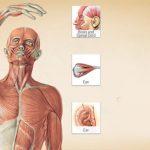 بدن انسان آناتومی بدن انسان