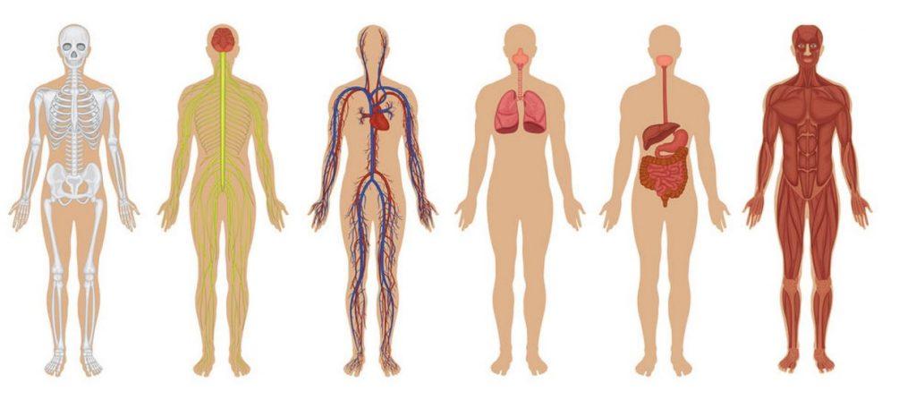بدن انسان. بخش های مختلف بدن انسان. بدن