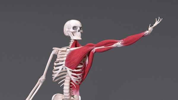 بدن انسان. ماهیچه ها. اسکلت بندی. قدرت بدن انسان