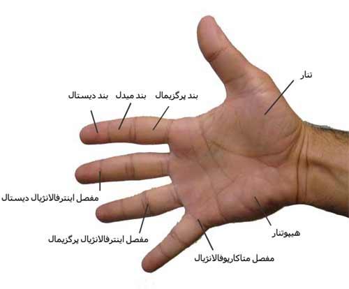 دست انسان. بدن انسان
