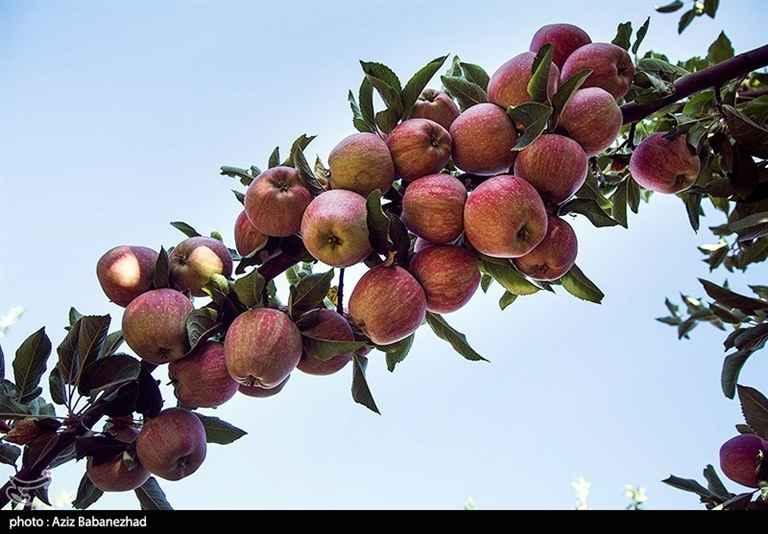 سیب قرمز. برداشت میوه سیب قرمز از باغات شهرستان سلسله