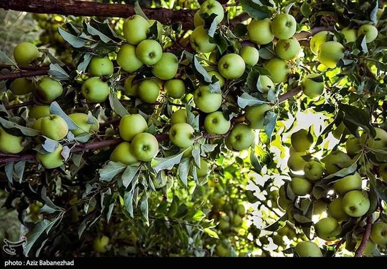 شهرستان سلسله. درخت سیب زرد