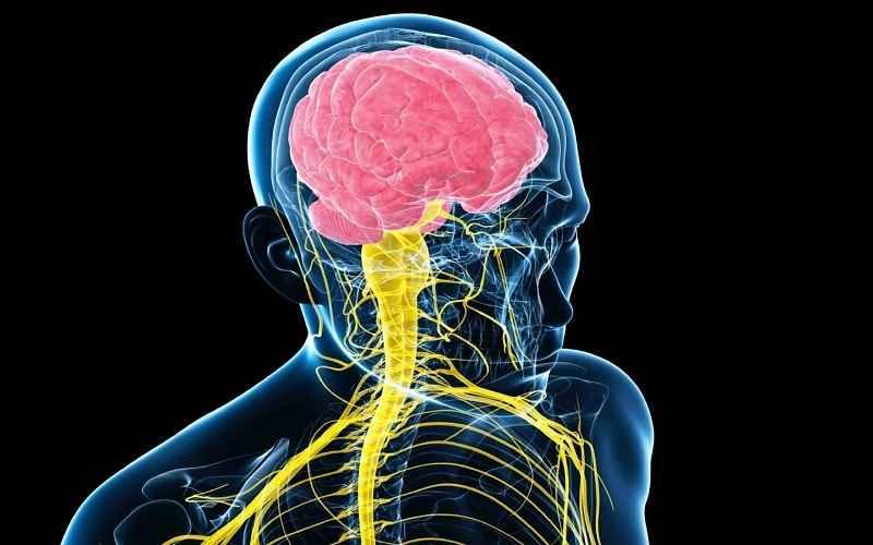 مغز مهمترین عضو بدن. درباره مغز. درباره قابلیت های ویژه مغز