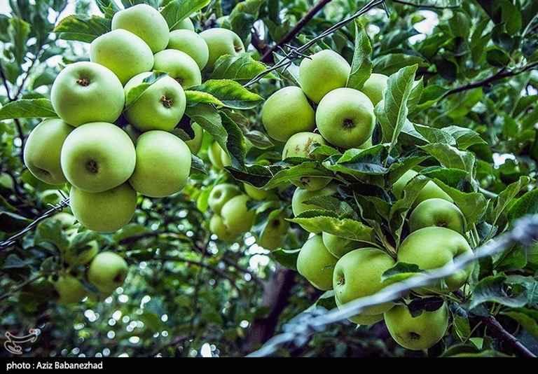 میوه سیب. باغات سلسله. برداشت سیب زرد