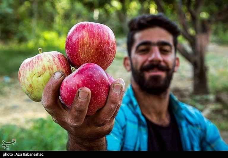 کارگی که مشغول برداشت و چیدن سیب است