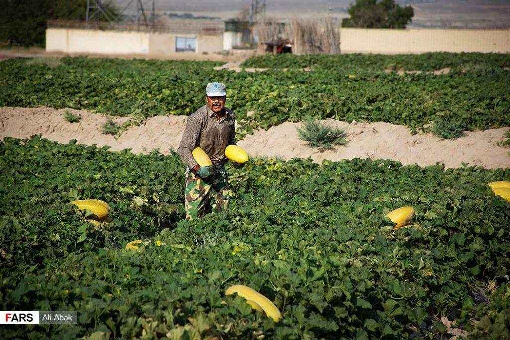 مزرعه خربزه و برداشت محصول