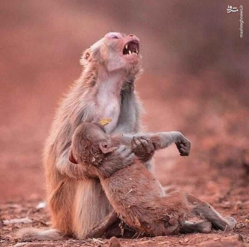 گریه میمون مادر برای مرگ بچه اش
