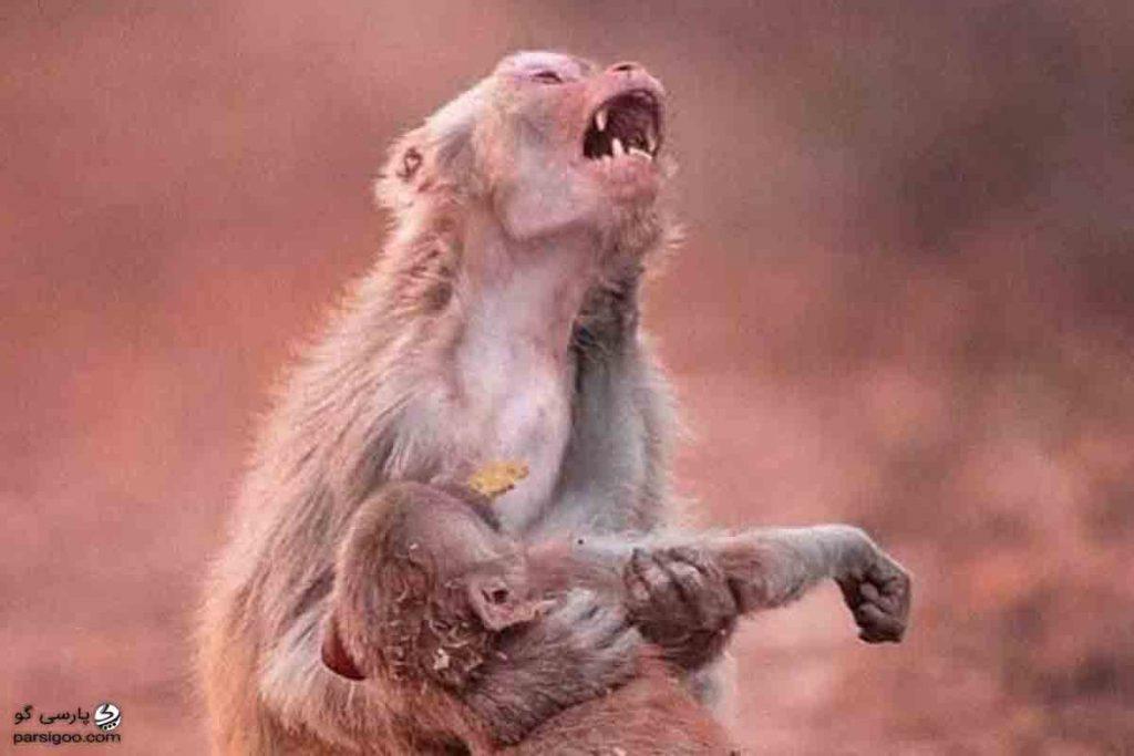 گریه میمون مادر در سوگ فرزند