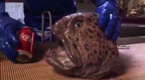 گرگ ماهی خطرناک گاز گرفتن سر جدا شده گرگ ماهی