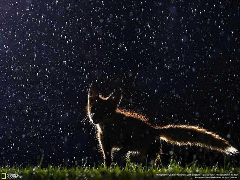 روباه در شب مجله نشنال جئوگرافیک