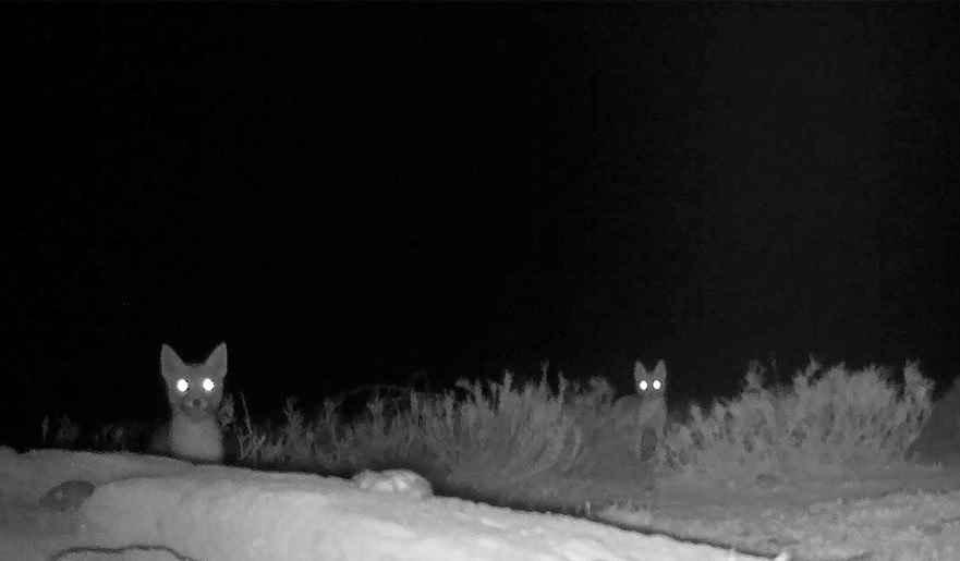 روباه عکس روباه عکس روباه در شب
